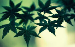 Read more about the article Benefits of Medical Marijuana